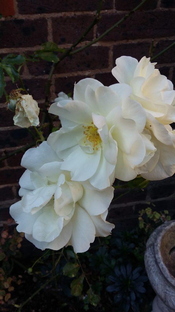 """ALT=""""White roses in our cloister garden"""""""