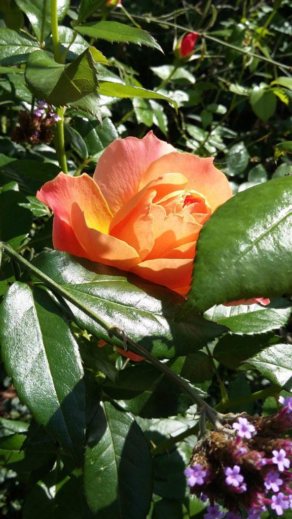 """ALT=""""A rose from our cloister garden"""""""
